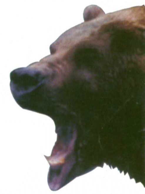 """""""It's hard to steal a scene from Anthony Hopkins and Alec Baldwin, but Bart the Bear delivers an Oscar-worthy four-legged turn in The Edge."""" -Newsweek, Sept. 8, 1997"""